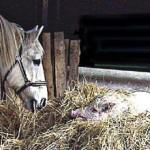 Ein Pferd schaut ein Schwein im Heu an